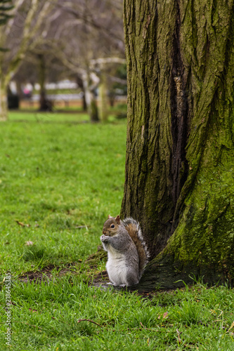 Squirrel at Hyde Park, London