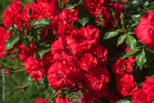 Giardino di rose buy photos ap images detailview
