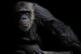 Cute Chimpanzee hold peanut in his mouth on black background - 218646751