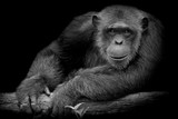 Black and White Cute Chimpanzee smile and catch big branch and look straight to front of him on black background