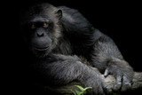 Cute Chimpanzee smile and catch big branch and look straight to front of him on black background