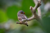 oiseau seul diamant mandarin gris posé sur une branche de profil en couleur