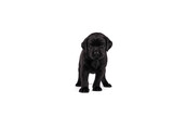 5 week old labrador puppy isolated on a white background standing