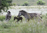 Zebra giving birth and defending baby