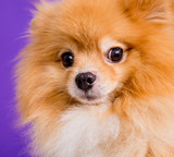Cute pomeranian spitz at the blue background.