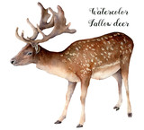 Watercolor fallow deer. Hand painted wild animal isolated on white background. Realistic male fallow for design, print or background. - 218693570