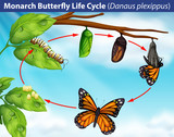 Monarch butterfly life cycle - 218709761