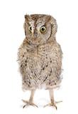 Eurasian scops owl - 218723141