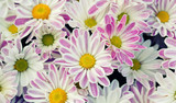 Violet chrysanthemums floral background. Colorful white pink yellow mums flowers close-up photo. Selective focus - 218730961