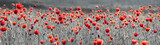 panorama with red poppies,selective color, only red and black