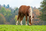 Chestnut Horse Grazing in a Fall Alpine Field - 218739741