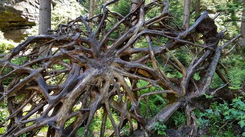 Wielki korzeń przewruconego drzewa w czeskich Skalnych Miastach