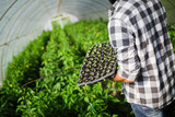 Farmer planting young seedlings in a greenhouse - 218783959