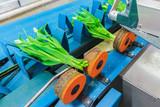 Fresh tulips on a blue conveyor belt in a Dutch greenhouse