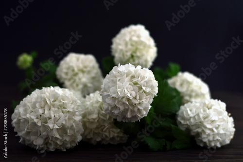 White snowball flowers on dark background buy photos ap images white snowball flowers on dark background mightylinksfo