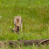 Coyote Eats Meat off of Elk Carcass