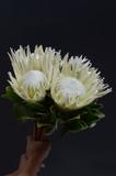 White Protea on black background
