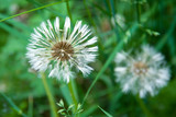 field of white dandelions, dandelion with seeds