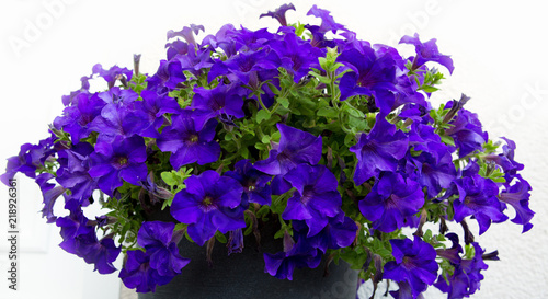 A bright petunia flowers on the summer garden. - 218926361