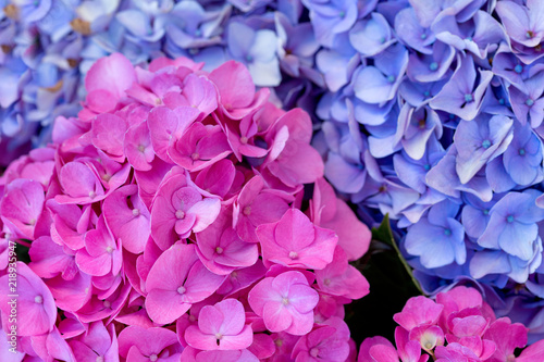 Colorful Hydrangea in summer garden. Macro photo. - 218935947
