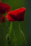 mak kwitnący i pąk kwiatowy