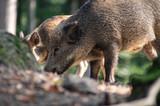Wildschwein - 218970536