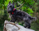 Black Scottish Terrier wearing red bandana and standing on a log with green trees in the background