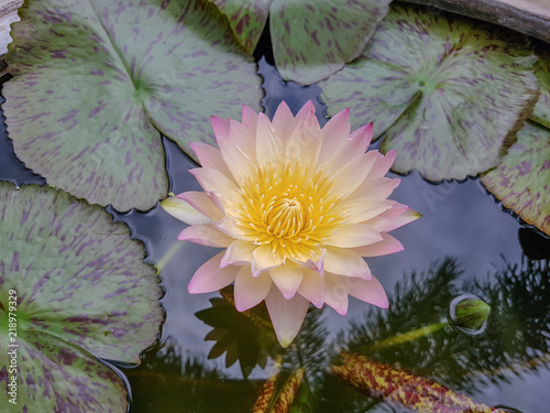 Beautiful Water Lily Flower With Yellow Pollen On White Background