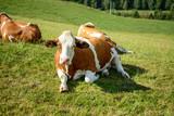 Kuh im bayerischen Wald liegend