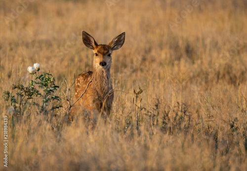 Fototapeta A Mule Deer Fawn on the Colorado Plains in the Glow of Morning