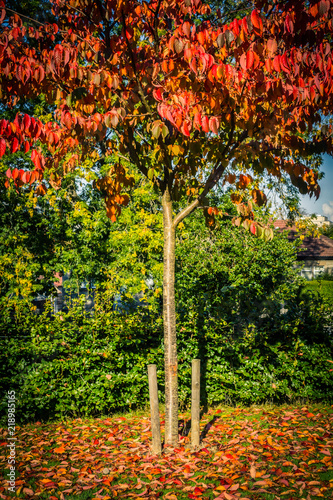Autumn in the park, red Japanese maple tree beautiful background © JulietPhotography