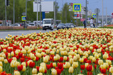 A flower bed with red and yellow tulips in an urban environment.