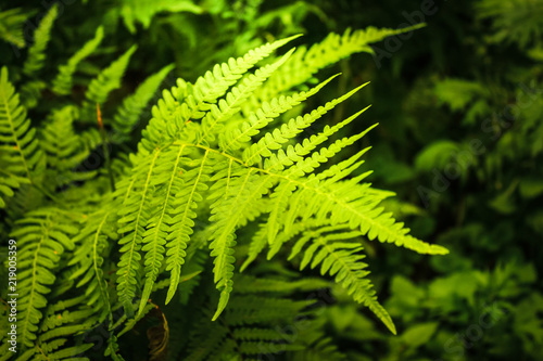 Fern in the rays of the evening sun in the forest. Wildlife and vegetation in the forest.