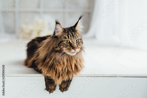 Fototapeta Maine Coon cat on white background
