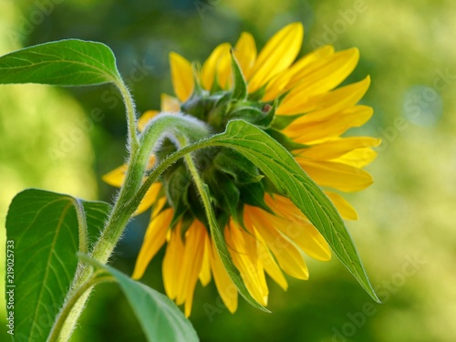 Foto Murales Sunflower