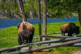 Close up of dangerous American Bison Buffalo grazing inside the forest in Yellowstone National Park