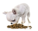 puppy chihuahua eating - 219079741