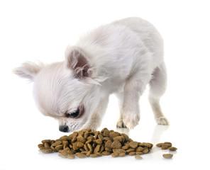 puppy chihuahua eating © cynoclub