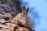 Red-headed squirrel sits on a tree in the woods head-down eats nuts  squirrel, animal, animal, mammal, rodent, tree, nature, forest, nuts, looks, eats, down, sky - 219080166