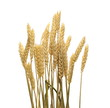 Leinwanddruck Bild - Dry wheat ears, grain isolated on white background, with clipping path