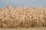 Vertrockneter Mais in Süddeutschland - 219100965