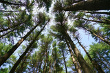 low angle view of the pine tree forest - 219109759