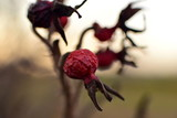 the hips of the Rosa rugosa shrub on the background of the setting sun - 219110367