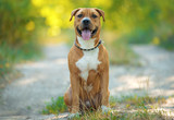 Strong and beautiful American staffordshire terrier portrait