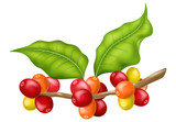 Coffee tree branch with leaves and berries. Vector illustration.