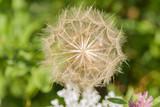 dmuchawce,  zieleń, flora, kwiat, flower, natura, nature, beauty, dandelions, pola, field