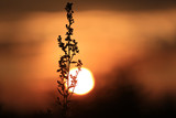 herb on sunset background - 219146311