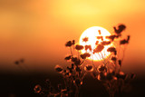 dry flowers on sunset background - 219146312