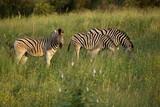 Zebra Family, Kruger National Park
