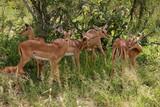 Group of Impalas, Kruger National Park - 219159171
